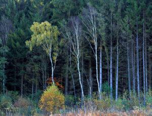 Birken, Wald, Herbst