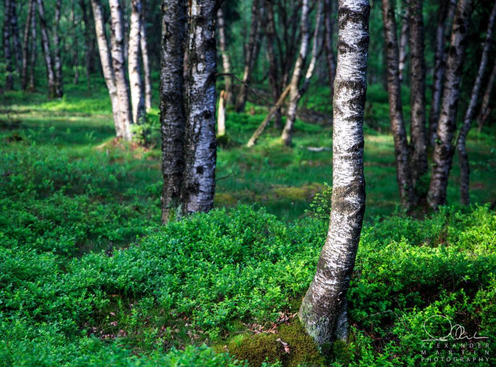 Birken Rotes Moor Rhön